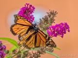 Two Monarchs Mating DSCN71327