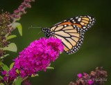 Monarch On A Purple Flower DSCN71302