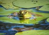 Bullfrog On A Lily Pad DSCN71416