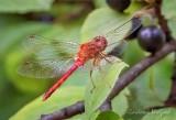 Red Dragonfly On A Leaf DSCN71609