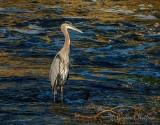 Heron In The Old Mill Channel DSCN71531