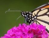 Monarch On A Purple Flower DSCN71302 (crop)