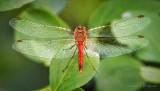 Red Dragonfly On A Leaf DSCN71618