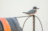 Kingfisher On A Wind Sock DSCN71782
