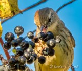 Yellow-rumped Warbler Going For A Grape DSCN72532 (crop)