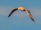 Ring-billed Gull In Flight DSCN72694