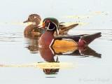 Wood Duck Couple DSCN72760