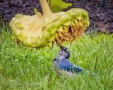 Blue Jay Beneath A Drooping Sunflower DSCN73181