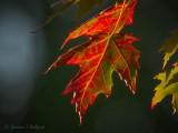 Backlit Mottled Autumn Maple Leaf DSCN73354