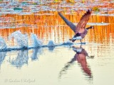 Goose Taking Flight DSCN73339