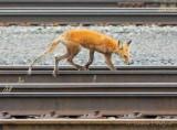 Wildlife In The Rail Yard DSCN73619