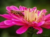 Grasshopper On A Pink Flower DSCN73542A