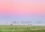 Distant Horses In Ground Fog At Sunrise 90D06628