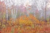 Birches On A Foggy Autumn Morning 90D07027