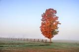 Fog Beyond Lone Autumn Tree 90D07119