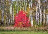 Birches Beyond Autumn Red Tree DSCN74037