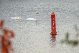 Two Mute Swans DSCN74156