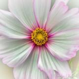 Pink Edged White Cosmos DSCN74625