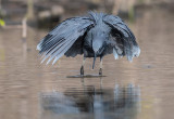 Black Heron hunting