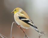 American Goldfinch II