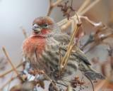 Male House Finch 2