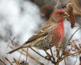 Male House Finch 3