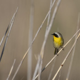 April 7 - Waterbirds at Charleston Slough