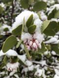 Snow covered Manzanita Flowers