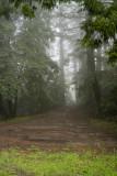 Redwoods Rain