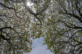 Leafing and flowering Maple Trees