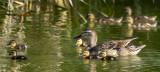 Duckling season