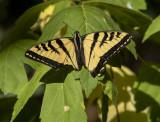 Swallowtail-less