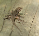 A Sunning Lizard