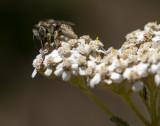 Bee on Yarrow wildflower