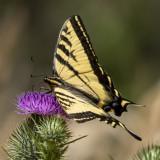 A healthier Swallowtail