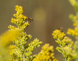 Bees and Goldenrod