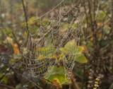 Dew dripping spider web