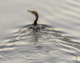 Early morning Cormorant