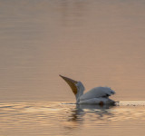White Pelican at sunset
