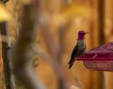 Iridescent Anna's Hummingbird