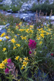 Wallowa Flowers