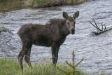 Yearling moose.jpg