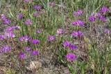 Wild Onions Grand Mesa Nat'l Forest.jpg