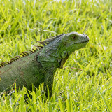 Green iguana.jpg