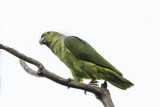 Scaly-naped Parrot.jpg