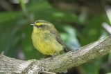 Yellow-bellied Chat-tyrant.jpg