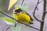 Yellow-crowned Redstart.jpg