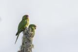 Scarlet-fronted Parakeets.jpg