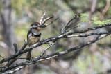 Russet-throated Puffbird.jpg