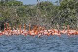 American Flamingos.jpg